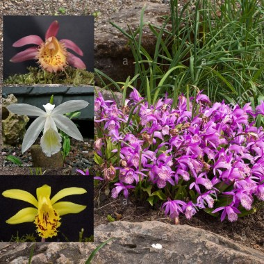 hardy-chinese-orchid-pleione-limprichtii-is-endemic-to-china-but-photographed-cwfbn3
