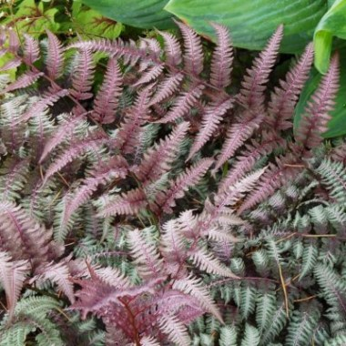 athyrium-burgundy-lace-3-400x400