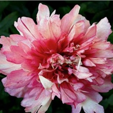 pion norwegian blush