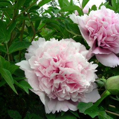 supply_peony_seedlings_hxn_